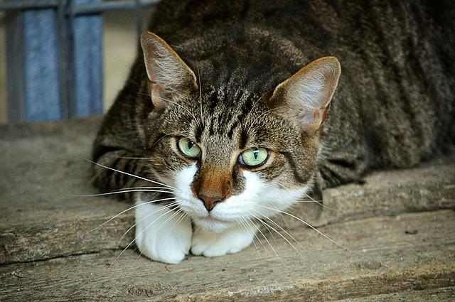Cat's Eyes, Animal Shelter, Mieze, Domestic Cat