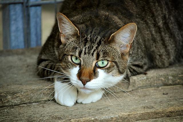 Cat's Eyes, Animal Shelter, Mieze, Domestic Cat