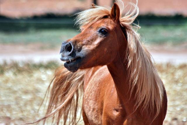 Shetland, Chestnut, Pony, Gelding, Animal, Horse