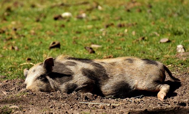 Pig, Sleep, Dirty, Young Animal, Animal