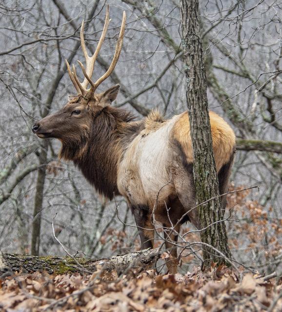 Elk, Male, Wildlife, Stag, Nature, Antlers, Animal