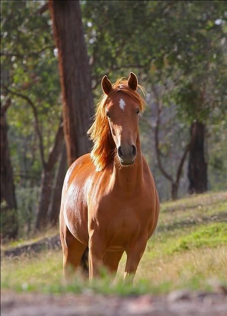 Horse, Stella, Animal, Farm, Pony, Australia