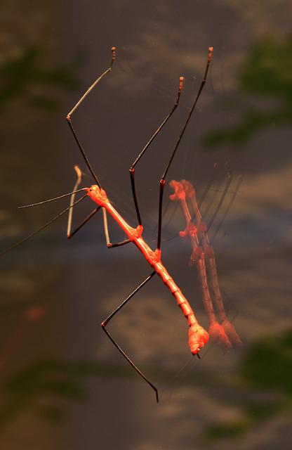 Stick Insect, Grasshopper, Red, Animal, Insect