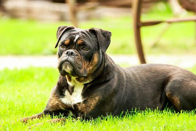 Dog, Dogs, Bulldog, Animal, Pet, Sweet, Cute, Are
