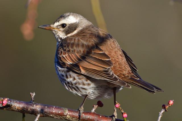 Wild Animals, Bird, Natural, Animal, Thrush
