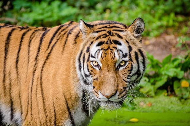 Animal, Big Cat, Tiger, Wild Cat, Wildlife