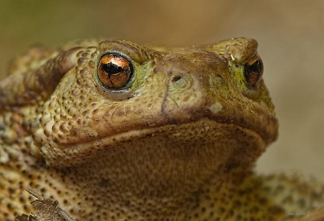 Toad, Amphibian, Eye, Animal