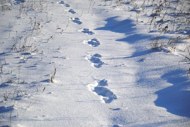 Animal Tracks, On Snow, Snow, Winter, Frost, Sunny Day