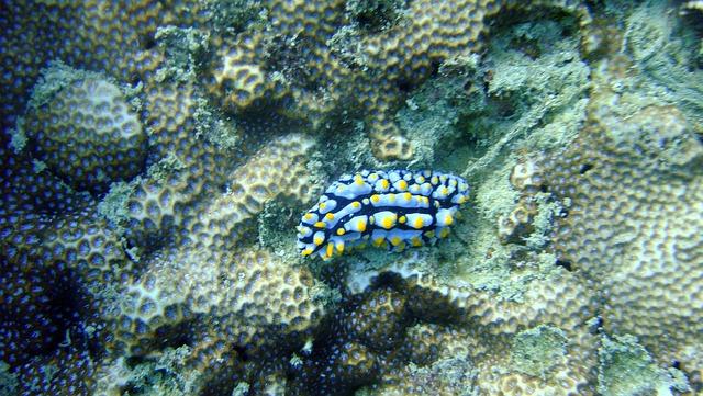 Nudibranch, Thailand, Sea, Marine, Underwater, Animal
