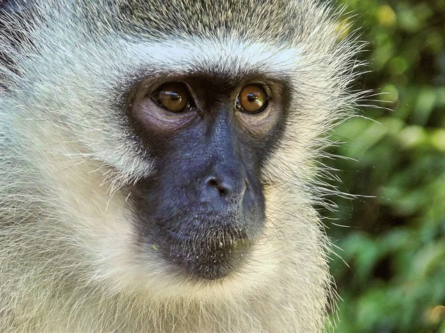 Vervet, Monkey, Female, Animal, Hartbeespoort Dam