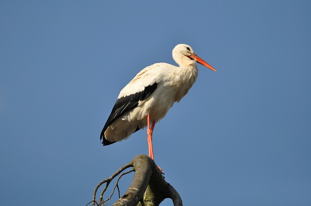 Stork, Bird, Animal, Waterbird, Wading Bird