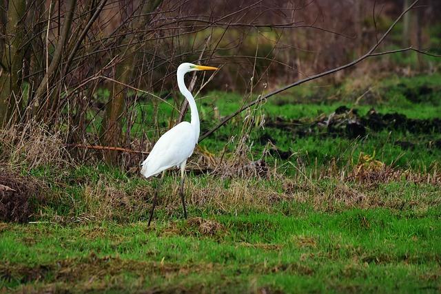 White Heron, Wading Bird, Wildlife, Wild, Animal