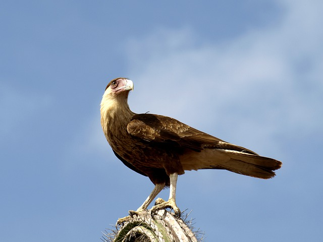 Wara Wara, Raptor, Bird, Bird Of Prey, Animal, Caracara