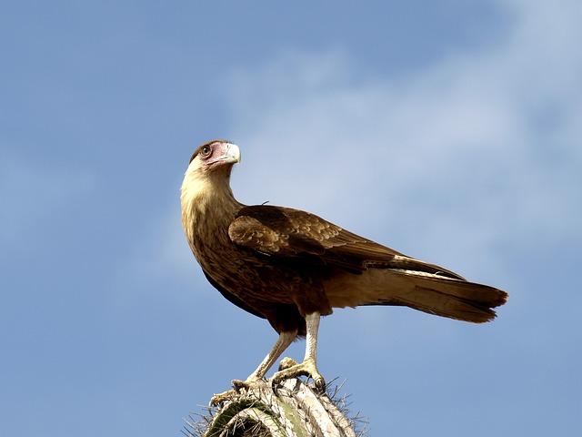 Wara Wara, Raptor, Bird, Bird Of Prey, Animal, Caracara