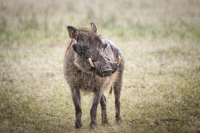Animal, Warthog, Pig, Wild, Wildlife, Safari, Africa