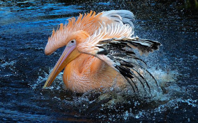 Wildlife, Water, Nature, Bird, Animal, Pelican, Bathing