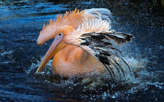 Wildlife, Water, Nature, Bird, Animal, Pelican, Bathing