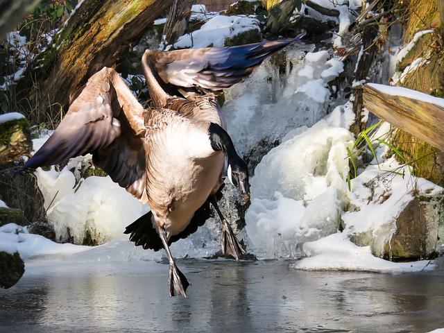 Animal, Goose, Bird, Greylag Goose, Water Bird, Fly