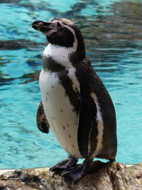 Penguin, Humboldt Penguin, Water Bird, Animal, Curious