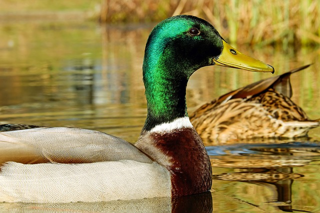 Mallard, Anas Platyrhynchos, Water Bird, Animal
