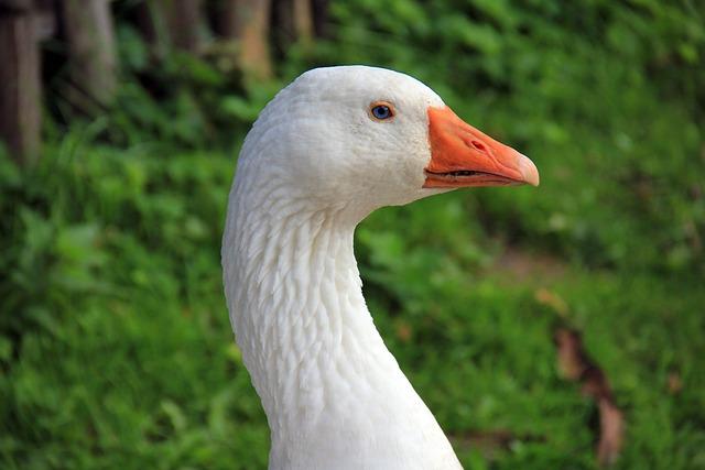 Animal, Bird, Goose, Bill, Poultry, Water Bird