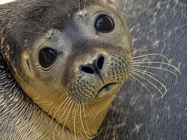 Seal, Howler, Sad, Robbe, Animal, Meeresbewohner, Water