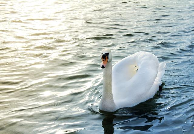 Nature, Water, Animal, River, Swan, White Swan