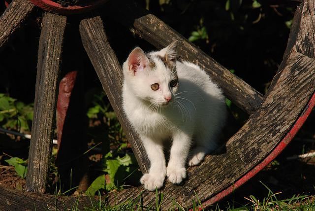 Cat, Kitten, White, Pet, Wheel, Wagon Wheel, Animal