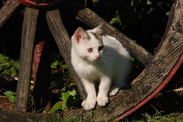 Cat, Kitten, White, Pet, Wheel, Wagon Wheel, Animal