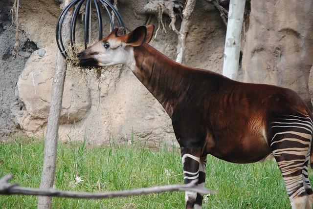 Okapi, Brown, Animal, Mammal, Wildlife, White, Wild