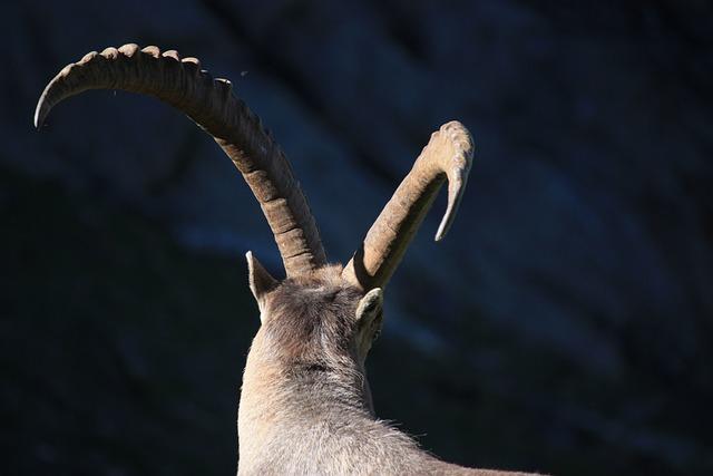 Ibex, Horns, Animal, Wild Animal, Nature, Mountain