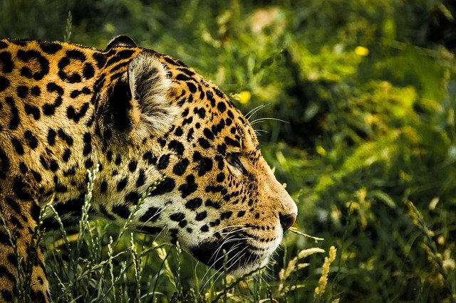 Jaguar, Wild Cat, Mammal, Zoo, Feline, Big, Cat, Animal