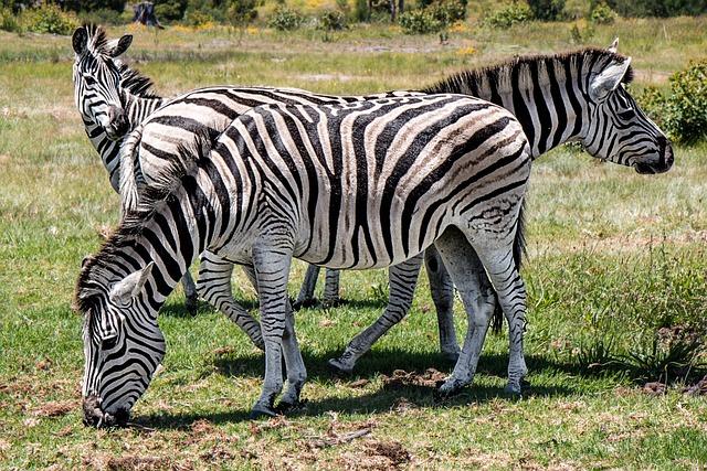 Zebra, Wildlife, Animal, Safari, Wild, Mammal, Africa