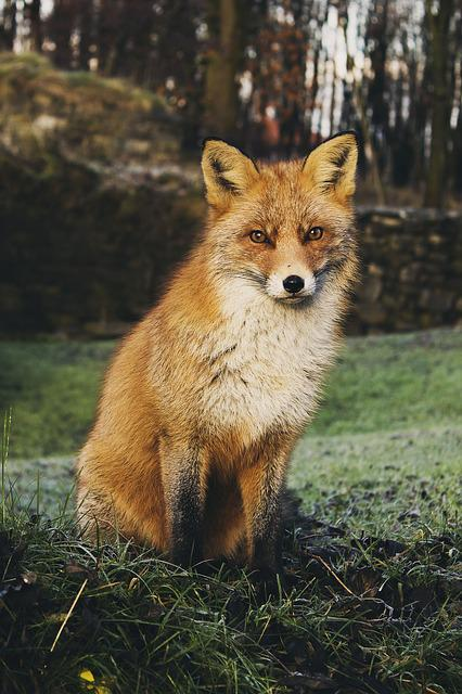 Fox, Animal, Carnivore, Red Fox, Wildlife, Wilderness