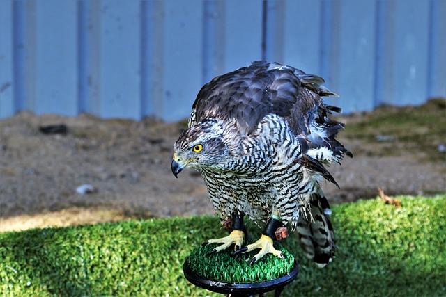 Goshawk, Hawk, Bird, Wildlife, Animal, Wild, Raptor