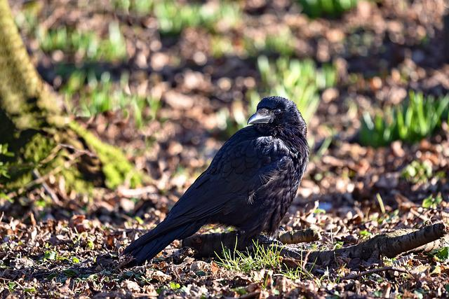 Crow, Bird, Corvus, Animal, Wildlife, Standing, Beak