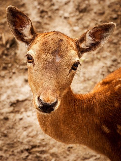 Deer, Animal, Wildlife, Roe Deer, Mammal, Fauna