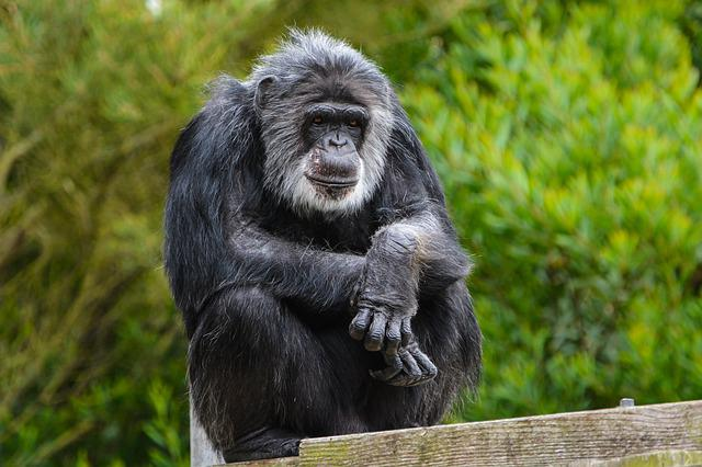 Animal, Mammal, Monkey, Wildlife, Ape, Primate, Park