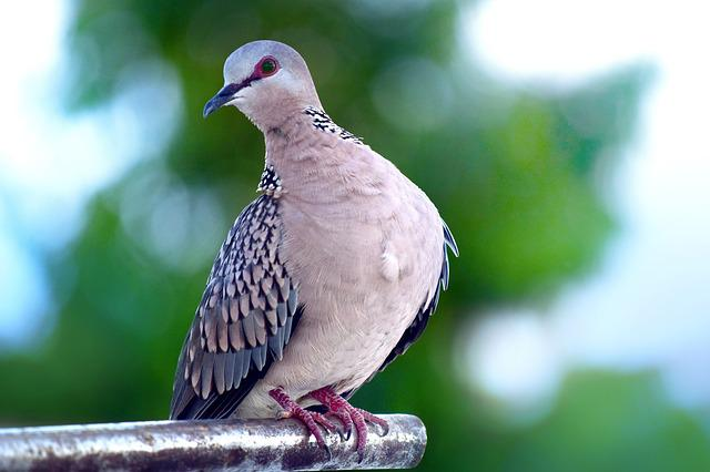Bird, Wildlife, Nature, Animal, Outdoors, Spotted, Dove