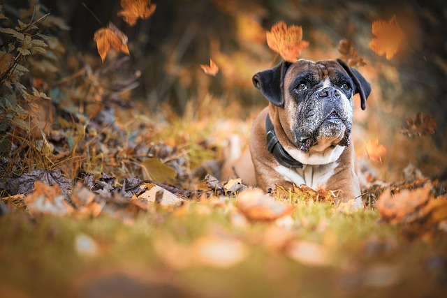 Dog, Boxer, Autumn, Wildlife Photography, Pet, Animal