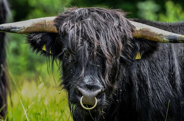 Beef, Horns, Nose Ring, Animal, Wildlife Photography