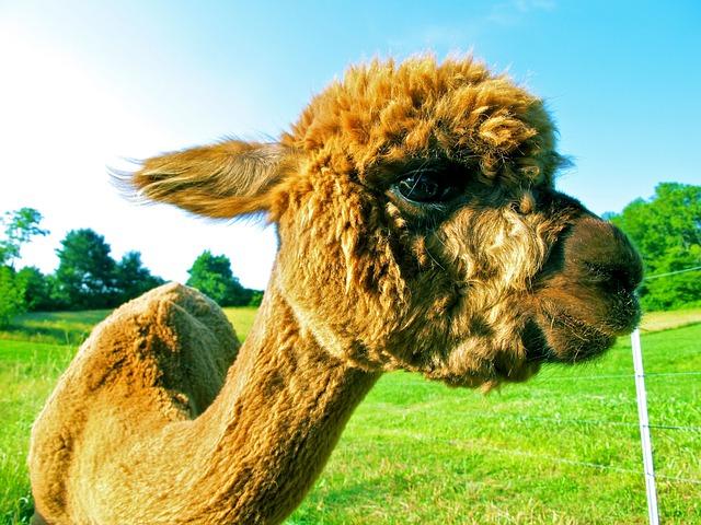Fleece, Alpaca, Fur, Animal, Mammal, Cute, Wool, Fluffy