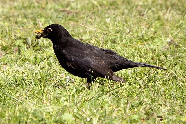 Bird, Animal World, Nature, Animal, Blackbird, Grass