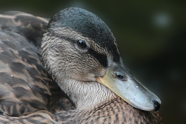 Duck, Mallard, Bird, Animal, Water Bird, Animal World
