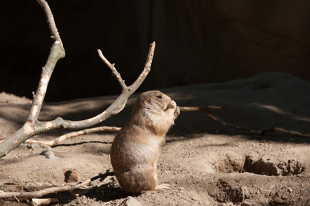 Prairie Dog, Animal, Mammal, Animal World