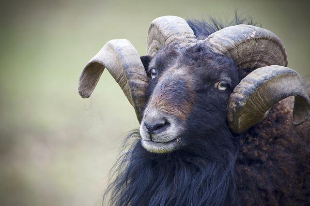 Aries, Mouflon, Mammal, Animal, Animal World, Wild, Zoo