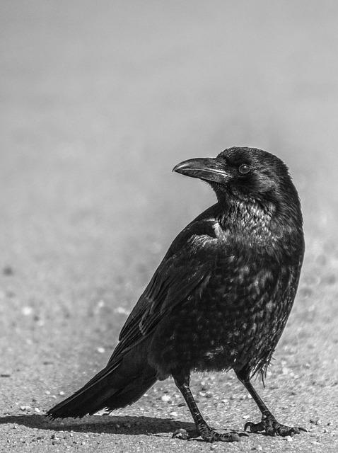 Bird, Animal World, Crow, Animal, Nature