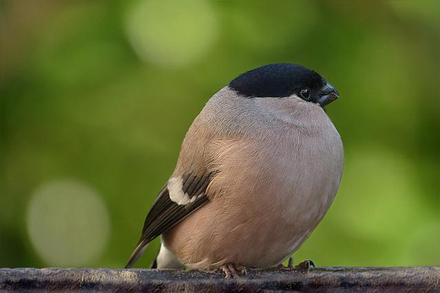 Animal World, Bird, Bullfinch, Pyrrhula, Female