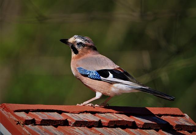 Jay, Songbird, Bird, Nature, Animal World, Feather