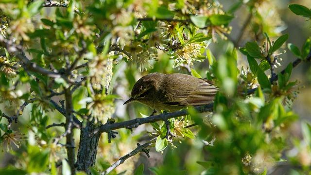 Chiffchaff, Bird, Branch, Songbird, Animal World, Bloom